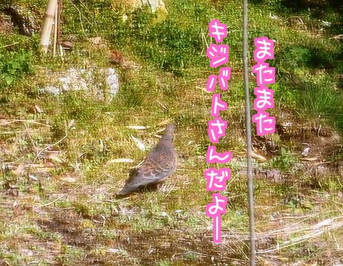 鳩さん1.jpg