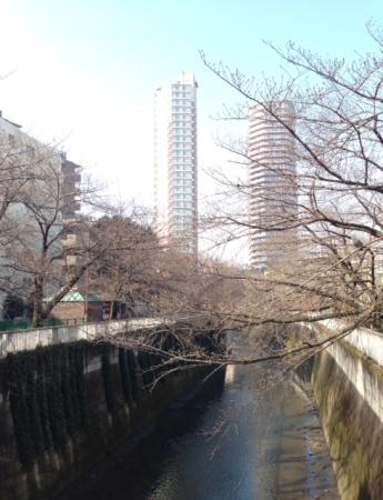 2015東中野桜開花南向き