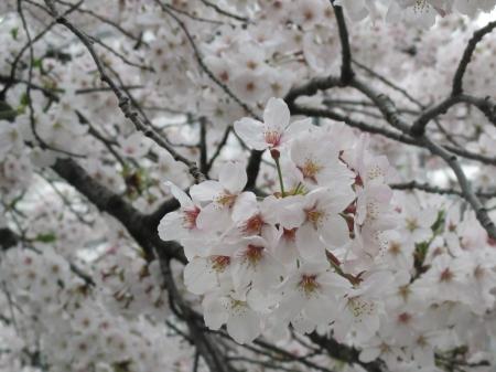 2015東中野の桜5