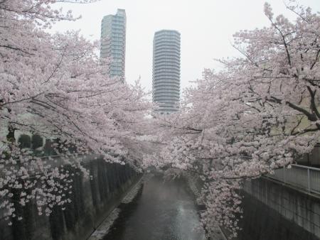 2015東中野の桜3