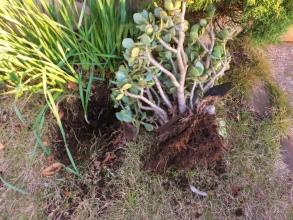防寒対策下にもかかわらず霜で痛んだ地植えの金の成る木(アルボレウム)、掘りあげて室内に避難します。2014.12.19