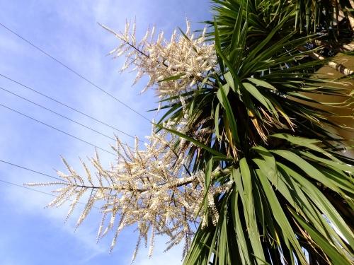 ニオイシュロラン=コルジリネ オーストラリス(Cordyline australis)どこからともなくとっても癒される甘爽やかな芳香花です♪2015.05.11