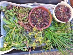真冬ですが、多肉植物を挿し木します♪カルボスローツス(葉物メセン)、花アロエ、デロスペルマ・ヌビゲナム、センペルビウムなどなど~♪2015.01.11