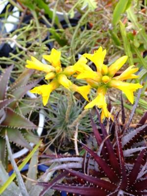 デイッキアのお花が咲いています♪黄色2015.05.25