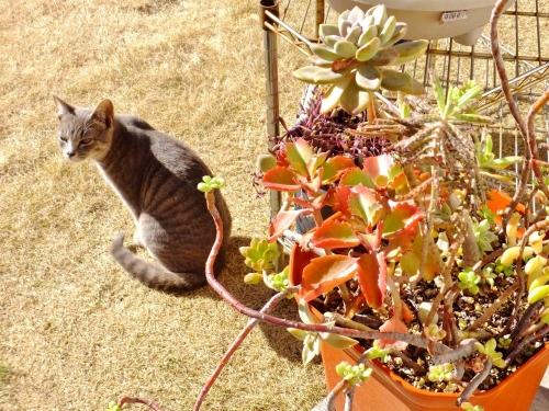 近所のロシちゃん♪勝手に家の庭に遊びに来ています(~_~)&多肉寄せ植え~♪2015.01.18