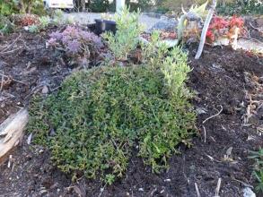 デロスペルマ・ヌビゲナム、ランプランタス他~乾き気味の根土は軽い霜でシャリシャリですが水分が少ないので大丈夫そうです♪2014.12.27