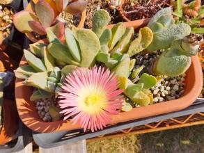 ケイリドプシス・神風玉(サーモンピンク系花色)雪を被って溶けた後、キレイに開花しました♪2015.01.05