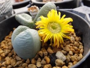 アルギロデルマ黄色花系~雪が被らない軒下でカリカリだったので水やりしたら開花しました♪2015.01.05