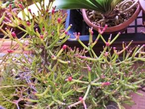 壜葦サボテン 竜吐水(りゅうどすい)(Hatiora cylindrica)晩秋か~初冬に花芽ができ上がってきます♪2014.12.16