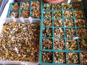 生き残り実生苗~室内管理中(冬季)♪左下:ミニドラゴンフルーツ他。左上:グロッチフィルム、フォーカリア他。右:フォーカリア、シュワンテシアその他?~ごちゃ混ぜですが成長しています。2014.12.18