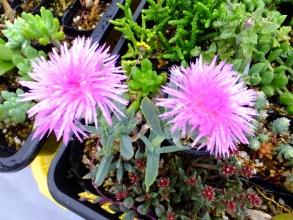 セムナンテ・ラセア、和名:清流(Semnanthe lacera)美しいピンクのお花が咲いています♪2015.06.18