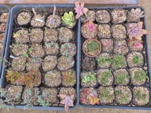 根詰まり多肉を植え替えてスッキリさっぱりして春を待ちます♪2~3日後、暖かかったら水やりします♪2015.02.01