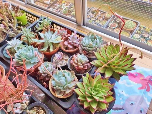 室内の多肉植物~エケベリア・魅惑の宵、ラウイー、ラウリンゼにピョロピョロな花芽ができ始めました♪2015.01.30