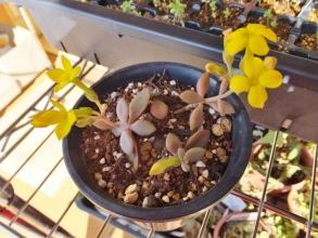紫葉のカランコエ~♪黄色いお花が咲いています(^◇^)2015.01.10