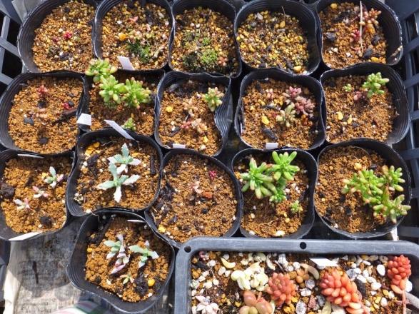 多肉植物実生苗♪セダム・カウルレア、白鳳菊など~大きくなってきました♪2015.03.22