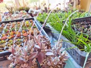 挿し木苗を置いている室内サッシ脇の日当たりにカランコエ・福兎耳(ふくとじ)の花芽が長~く伸びていました♪2015.01.13