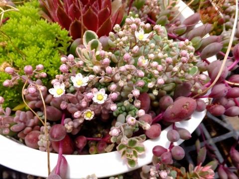 セダム・パープルへイズ・大型姫星美人♪可愛く角のとれた梅の花咲き花(^-^)2015.06.01