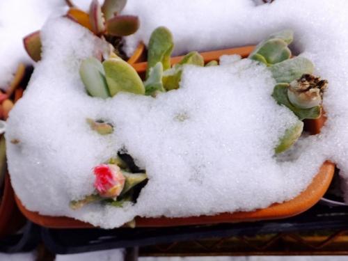 ケイリドプシス・神風玉(サーモンピンク系のお花)(Cheiridopsis pillansii cv.)初雪に埋もれてしまいました(ToT)2015.01.02
