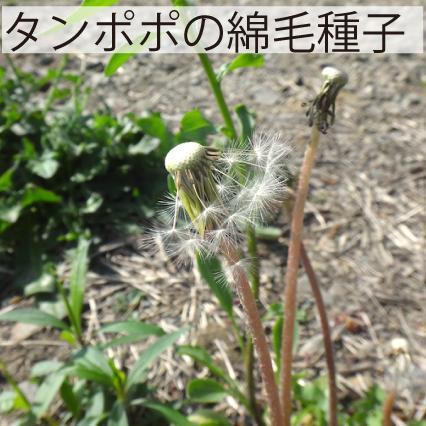 08_タンポポの綿毛種子