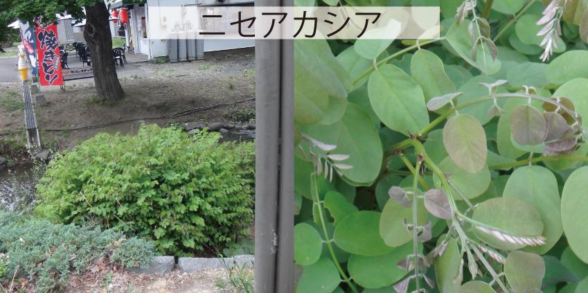 08_中島公園ニセアカシア