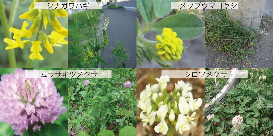 09_マメ科雑草