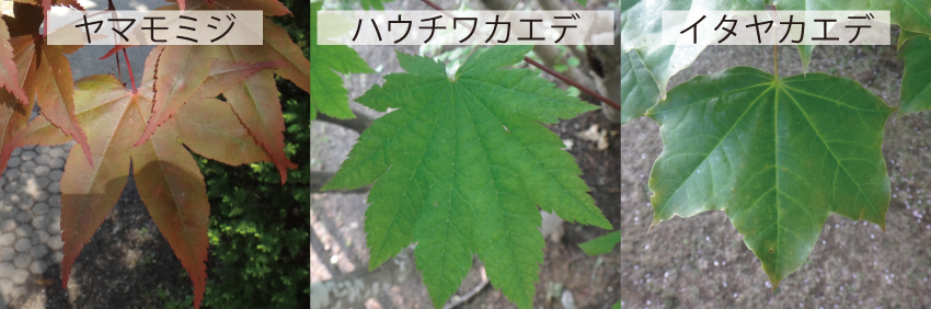 13_カエデの葉