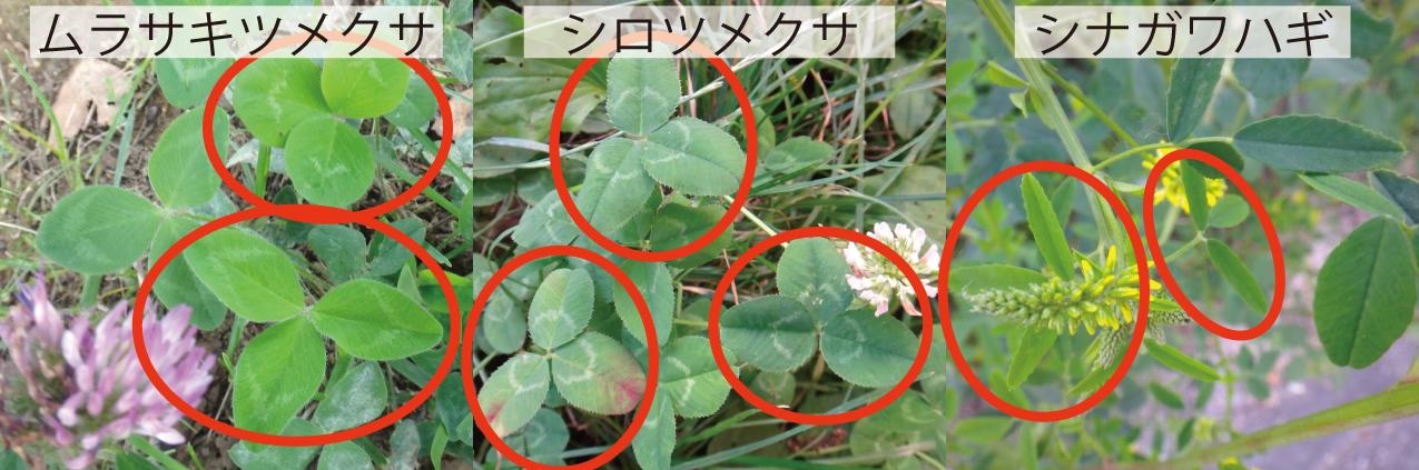 15_2マメ科の葉