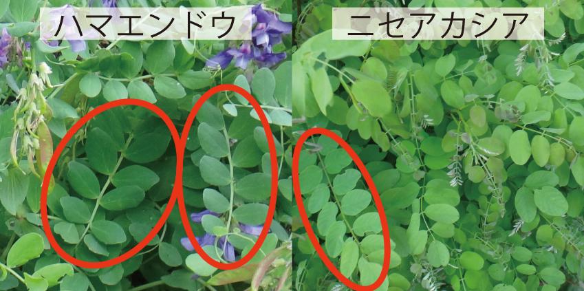 16_3マメ科の葉