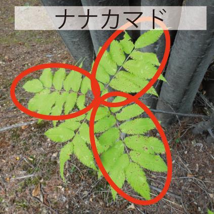 17_ナナカマドの葉