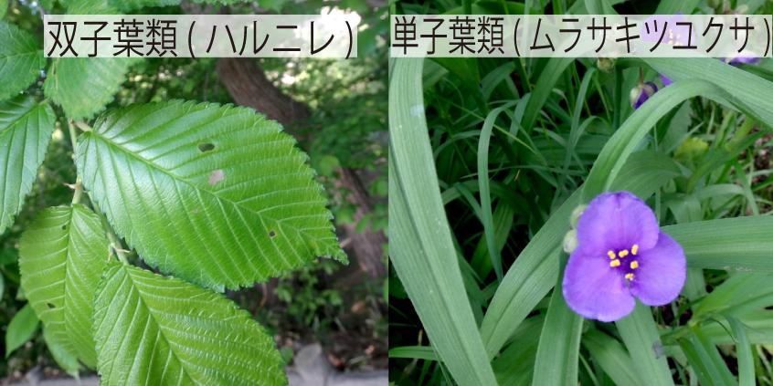 09_双子葉類と単子葉類