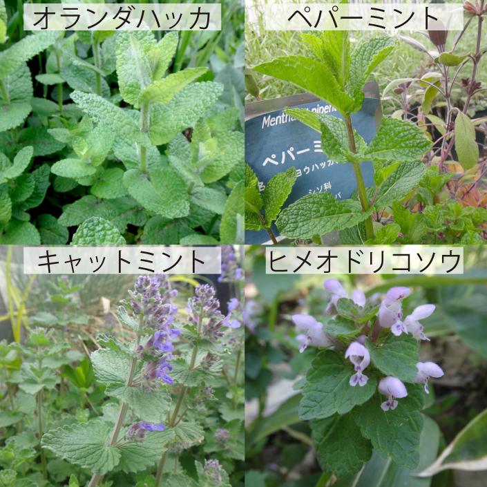 14_シソ科