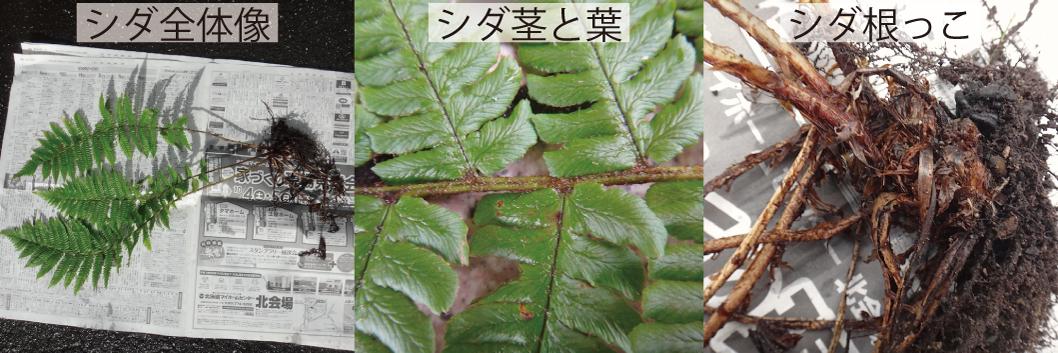 10_シダの全景と茎と根