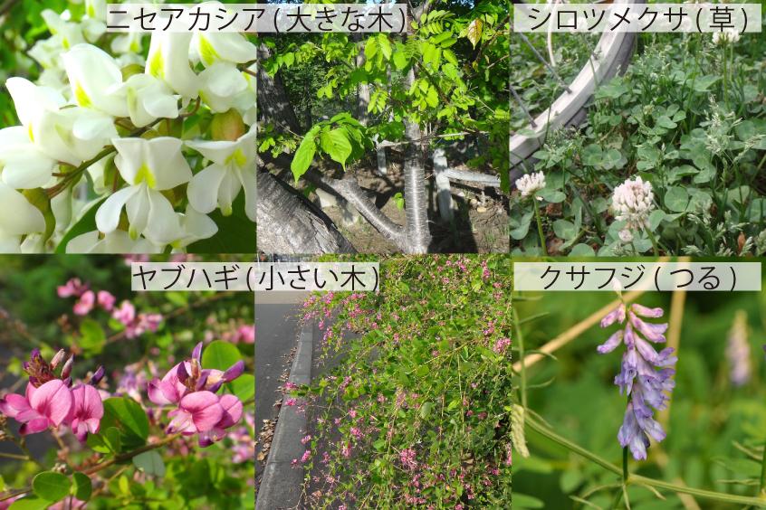 19_マメ科4種