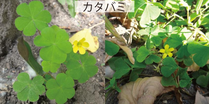 26_カタバミ