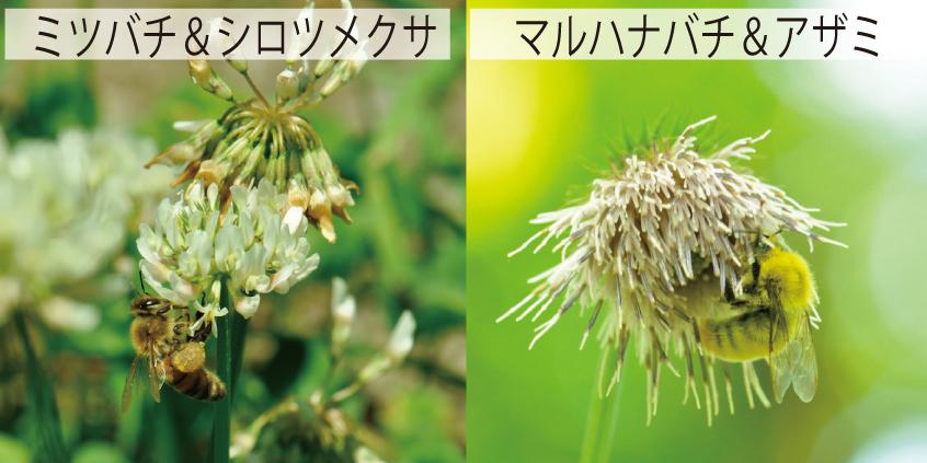 01_ミツバチとマルハナバチ