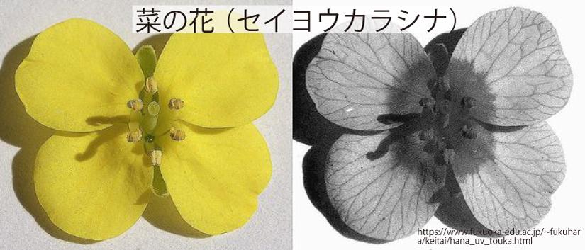 08_菜の花(セイヨウカラシナ)