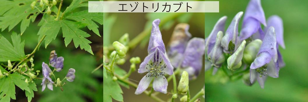 09_エゾトリカブト
