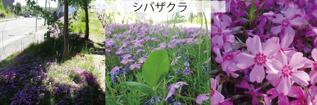 06_シバザクラ