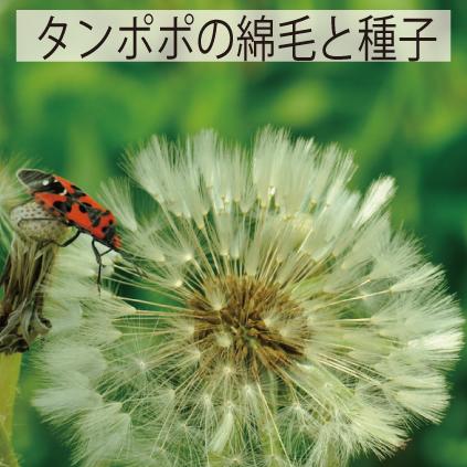 12_タンポポの綿毛と種子
