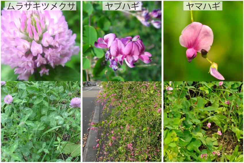 13_マメ科の花