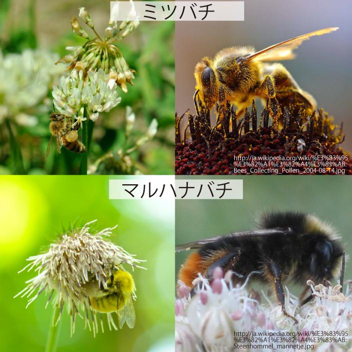 14_ミツバチとマルハナバチ