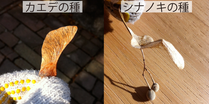 22_プロペラ種子