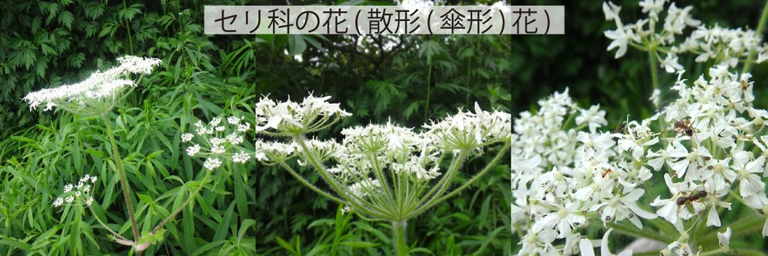 29_セリ科の花