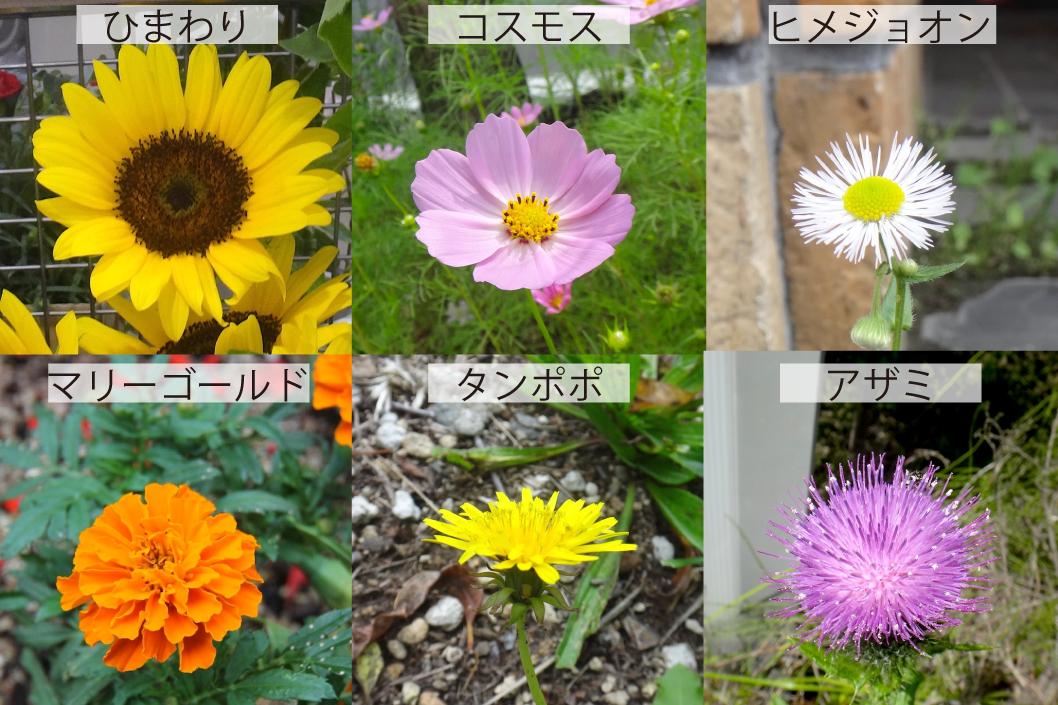 33_キク科の花6種