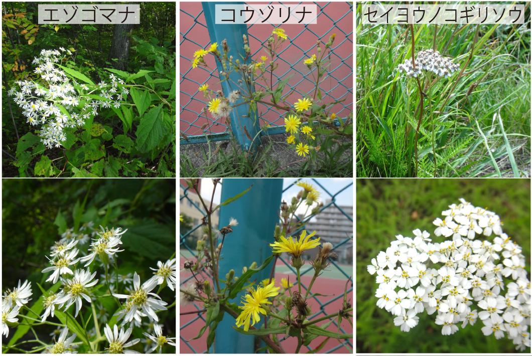 34_キク科の花3種