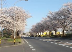桜並木201501